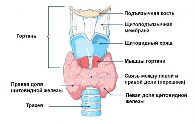 schildnaja-zheleza