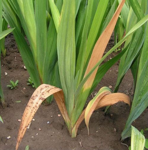 boleet-gladiolus