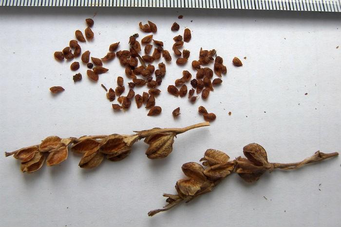 razmnozenie-semenami